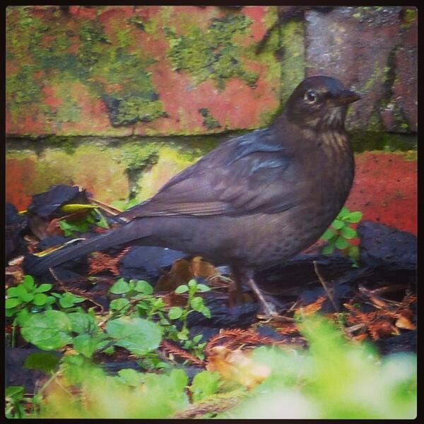 photo of a blackbird