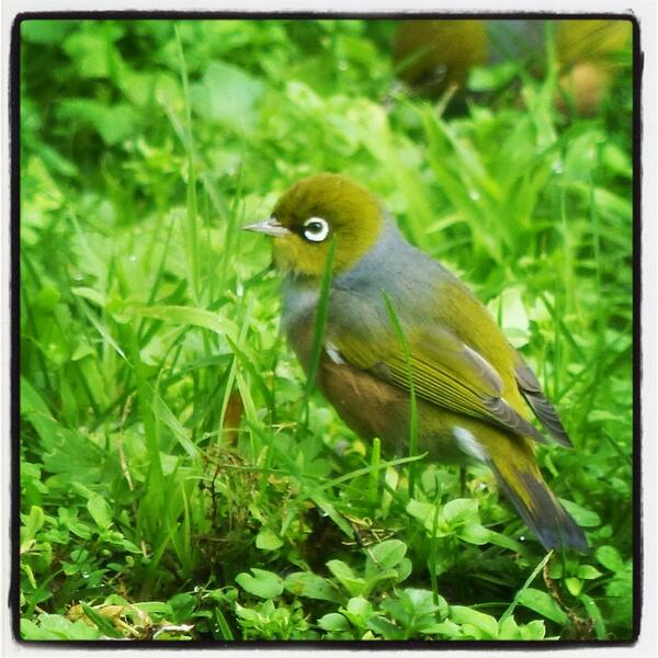 photo of a waxeye